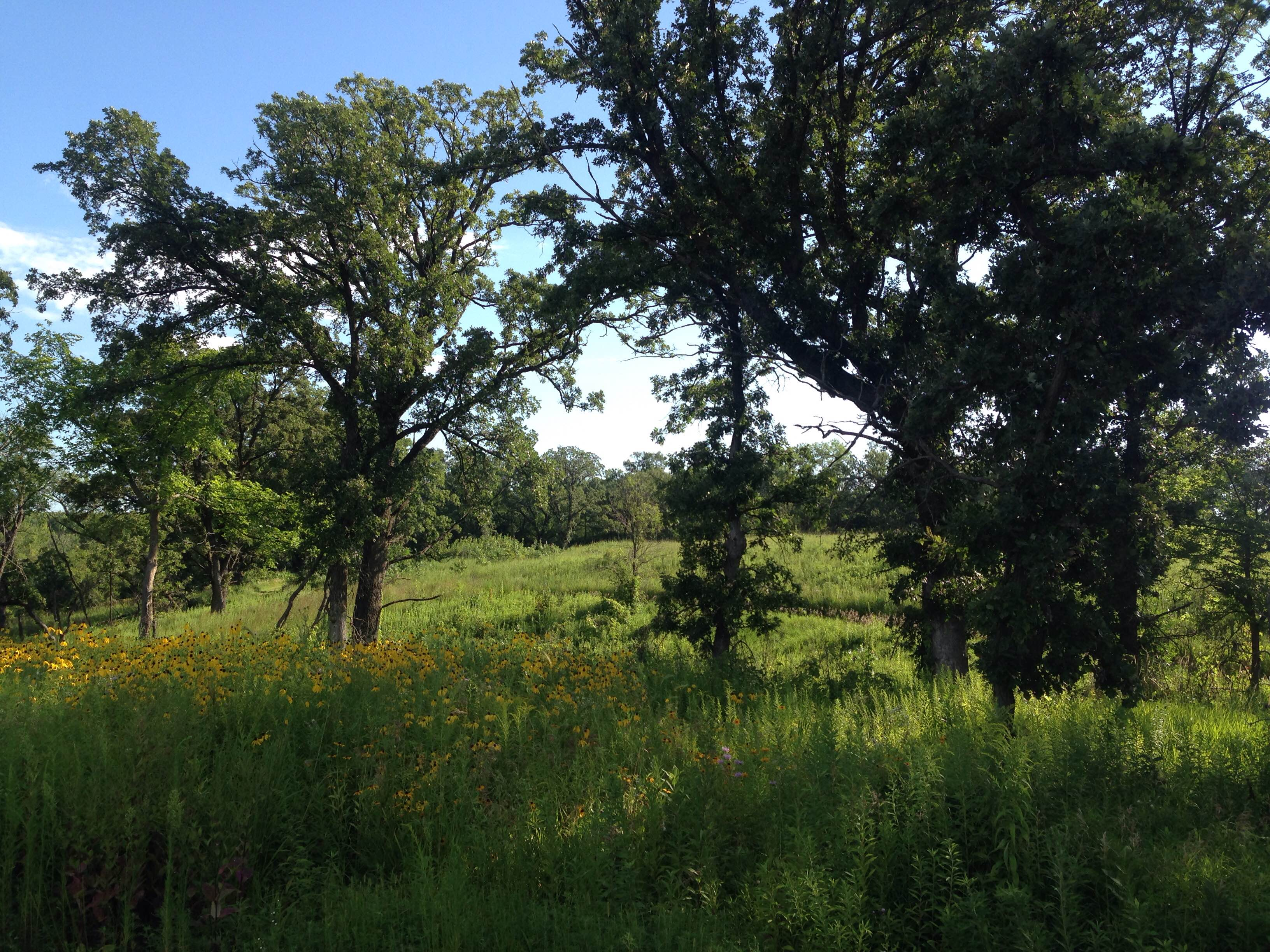 Oak savanna restoration